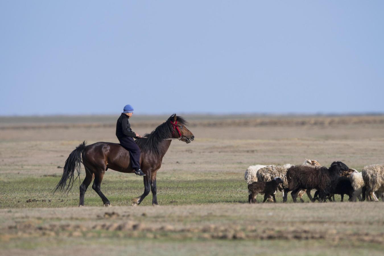 A boy herding sheep from the back of a horse, Kazakhstan