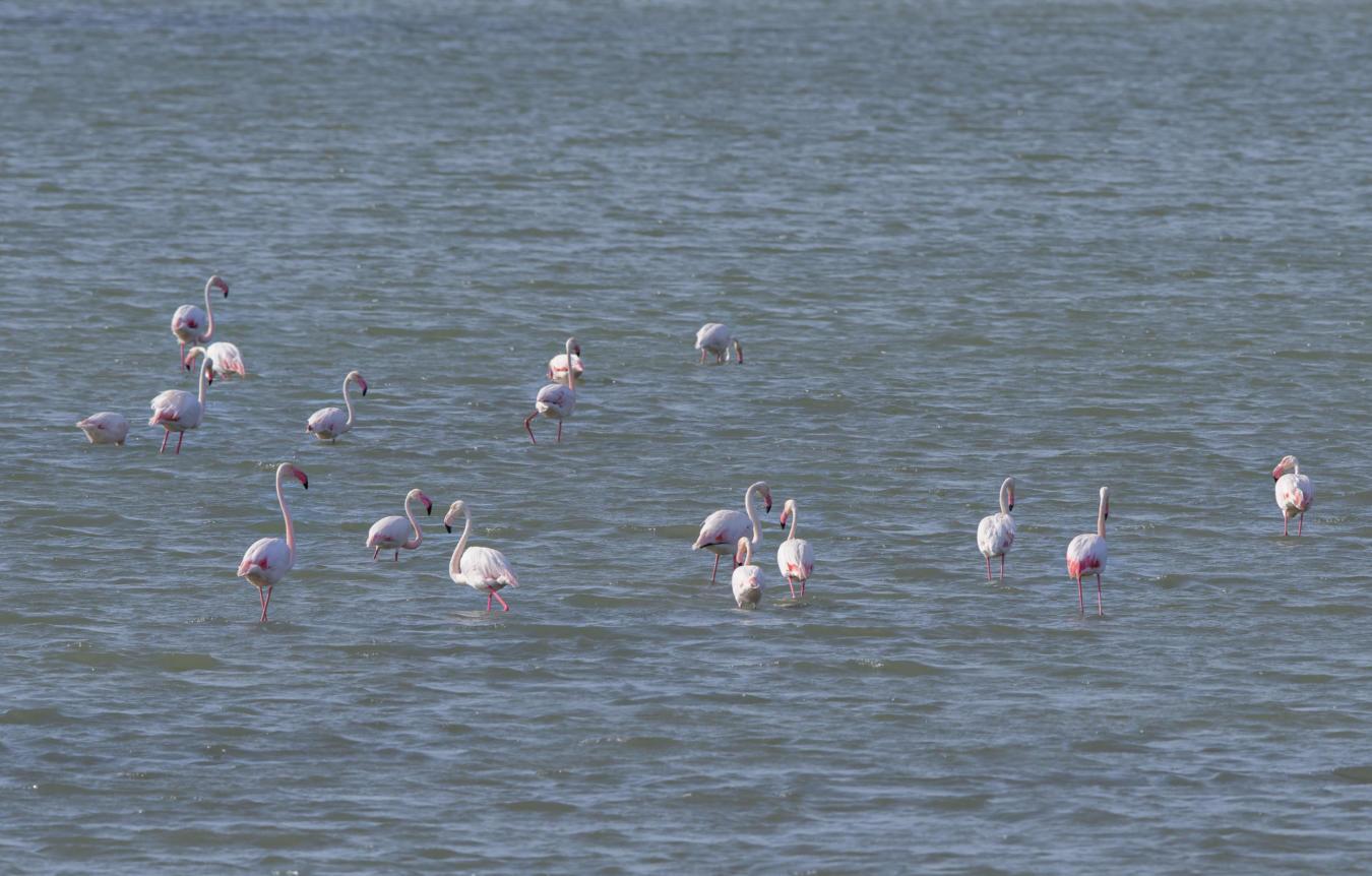 Greater flamingos in the Korgalzhyn area, Kazakhstan