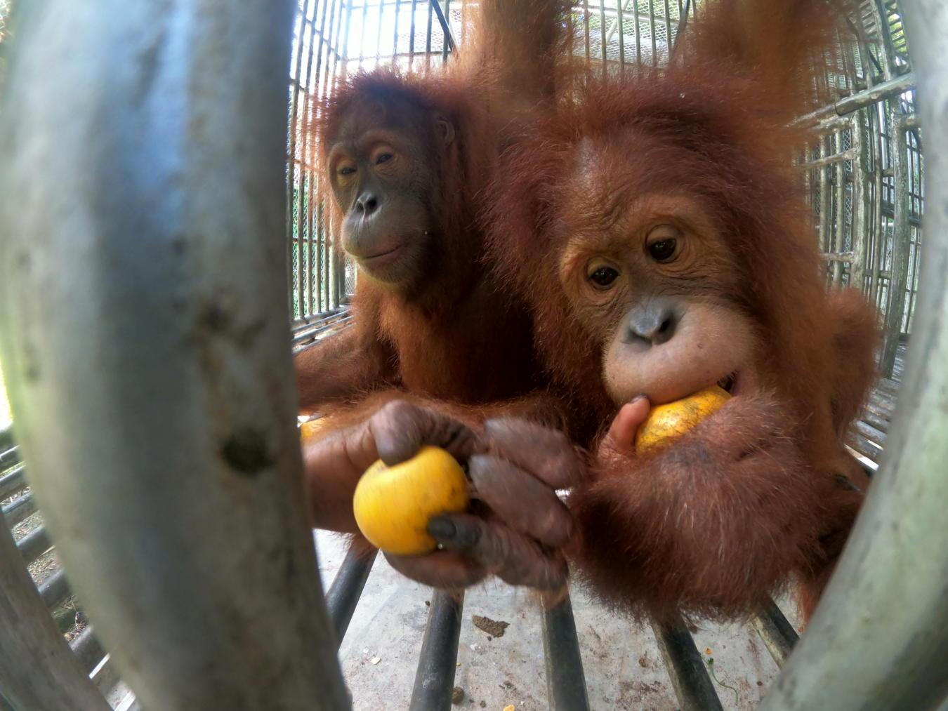 Orangutan repatriation from Thailand, Indonesia, Bukit Tiga Puluh